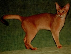 Gr.Int.Ch. Wodan's Milva-Liberta; 23 ruddy Female (1980-1996) Super Show- and Breeding-Abyssinian; produced with Puma 4 Litters - 7 ruddies and 4 reds