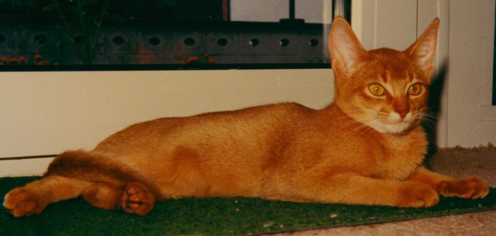 Another Photo of: Gr.Int.Ch. Wodan's Leila-Afrikana; 23a red; Female; (1982- 1996) proud and arrogant